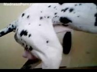 Huge dalmatian climbing on a willing thick MILF and penetrating her tight pussy