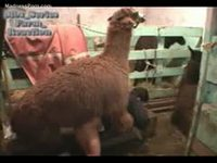 Husband filming beastiality sex of wife getting ass fucked by a llama