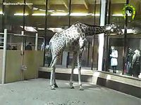 Amateur zoo fetish video featuring two giraffes that the owners hope to breed