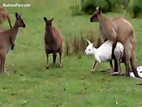 Fuck-hungry kangaroo is having intercourse with a sheep
