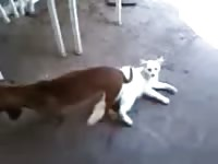 Rare animal fetish footage features two a dog embedded deep and stuck inside of a white cat