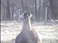 Bizarre zoo fetish movie recorded outside on a private farm as one llama fucked its friend