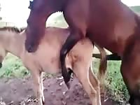 Entertaining hardcore zoo sex fetish video captured by dude features two horses banging