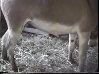 Curious farm worker captures a mule that developed a large hardon and touches the beast