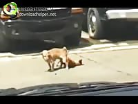 Lucky driver comes across two animals stuck together during a hardcore fucking session