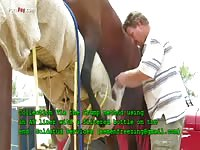 Horses semen collection from the stallion using manual stimulation of his penis
