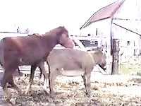 Pony on donkey anal Gaybeast - Beastiality Man